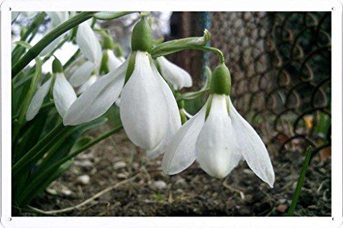 metallo-poster-targa-in-metallo-piastra-flower-tin-sign-snowdrops-flowers-spring-lattice-ground-well