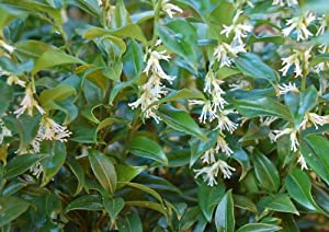 Garden House Sarcococca confusa AGM, Sweet Box - Evergreen Fragrant winter flowering shrub, Fully Hardy shade plant