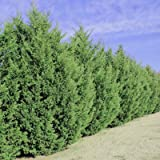 Leyland Cypress Trees- Fast Growing Evergreen Privacy Trees- Large Trees for Instant Privacy- Stays Green All Year (Tamaño: 1-2 ft.)