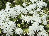 【6か月枯れ保証】【下草】シバザクラ/モンブランホワイト 9.0cmポット