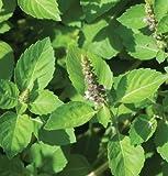 David's Garden Seeds Herb Basil Tulsi Holy D71104A (Green) 1000 Organic Seeds