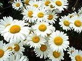 2,500 Shasta Daisy Seeds / Free Shipping