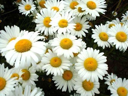 2500-shasta-daisy-seeds-free-shipping