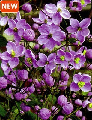 Splendide Meadow Rue - Thalictrum - SHADE - NEW! - Buy Splendide Meadow Rue - Thalictrum - SHADE - NEW! - Purchase Splendide Meadow Rue - Thalictrum - SHADE - NEW! (Hirts: Perennials; Shade, Home & Garden,Categories,Patio Lawn & Garden,Plants & Planting,Outdoor Plants)