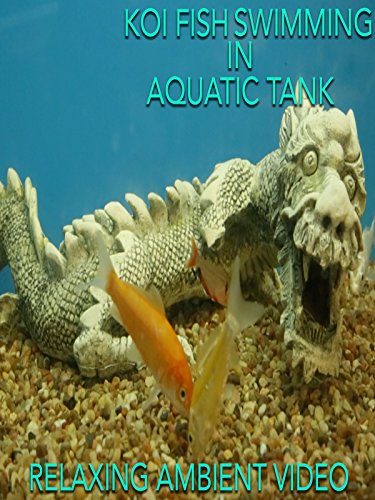 Koi fish swimming in aquatic tank relaxing ambient video