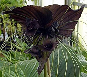 Rare Black Bat Plant -Tacca chanterii - Exotic Houseplant - 4