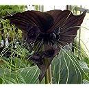 Rare Black Bat Plant -Tacca chanterii - Exotic Houseplant - 4
