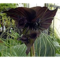 Rare Black Haunting Bat Plant -Tacca - Exotic Houseplant
