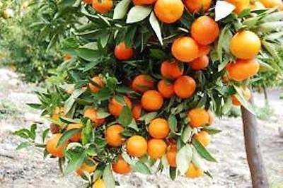 citrus-orange-tree-12m-tall