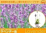 全草に香りがあり、化粧品などにも利用されるハーブ缶「ラベンダー」