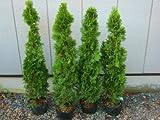 エメラルドグリーン 樹高1.2m前後 4本セット