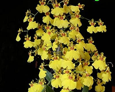 Oncidium Sweet Sugar, an easy to grow beginner orchid