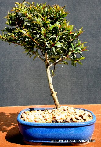 Brush Cherry Indoor Bonsai Tree by Sheryls Shop