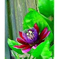 Hirt's Ruby Glow Passion Flower Plant - Passiflora - 4