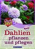 Dahlien pflanzen und pflegen