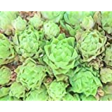 ABSTRACT SUCCULENT By Greene, Taylor Art Print On Canvas 20x16 Inches