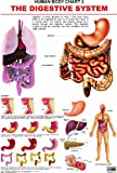 The Digestive System Chart - aims at fulfilling the needs of science students.