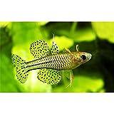 (熱帯魚・レインボーフィッシュ) バタフライ・レインボー SMサイズ 5匹