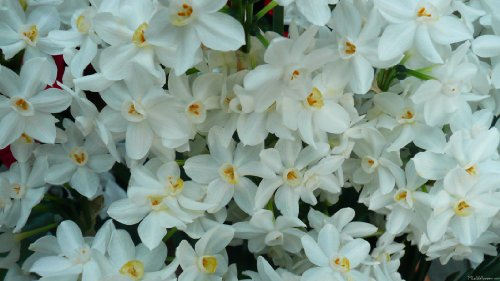 Valentines DAY Special~ Set of ten premium flower bulbs from Holland ~FRAGRANT ~Paperwhite Flowers Bloom in twenty days from planting! ~ Fragrant Flowers ~We love these flowers, you will too!