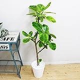アルテシーマ ホワイトセラアート鉢 観葉植物 フィカス ゴムの木 インテリア 中型 大型