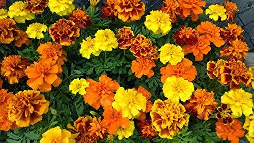 double-dwarf-120-marigold-seeds-french-marigold-upc-643451295573