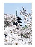 Cherry Blossom trees, Kyoto, Honshu, Japan Fine Art Print (45.72 x 60.96 cm)