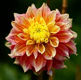 'Kogane Fubuki' Decorative Dahlia - 2 Tubers - NEW!