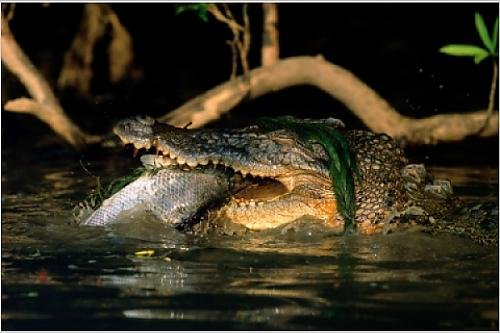 Saltwater Crocodile Eating a Barramundi