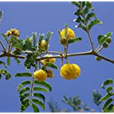Acacia Farnesiana, Sold By Exotic Cactus, Vachellia Rare Mimosa Tree Bonsai Aroma Bush Seed 50 Seeds