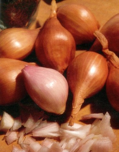 Red Holland Shallot Bulbs