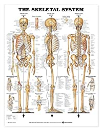 Skeletal System Anatomical Chart (Giant Size 42\