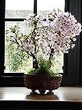 ご入学 ご卒業の お祝いのに ピッタリの サクラ盆栽 プレゼントや贈り物に桜盆栽で自宅でお祝いのお花見