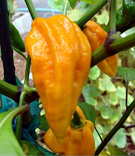 Devil's Tongue Pepper (20 Seeds) Discovered Here in Pennsylvania- Extremely Hot (Devils Tongue compare prices)