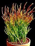 """'Fire Sticks' Pencil Cactus - Euphorbia - Easy to grow - 6"""" Pot"""