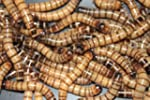 1000 Live Superworms