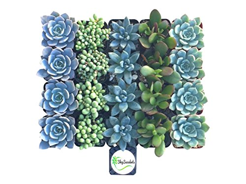 Shop Succulents Blue/Green Succulent (Collection of 20)