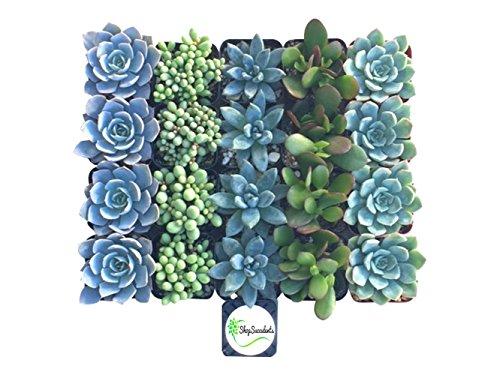 Shop Succulents Blue/Green Succulent (Collection of 20)