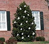 Magnolia LITTLE GEM, Dwarf Southern Magnolia Tree, More Compact Size, Fragrant WHITE Flowers