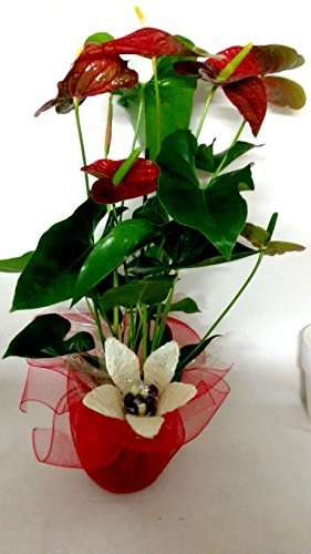 anthurium-natural-con-flor-deco-y-piccolos-de-chocolate-portes-gratis