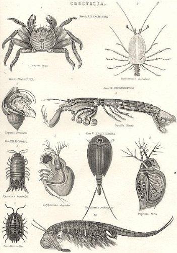 Crustaceans (1880)