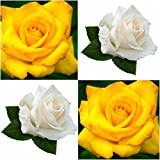 (Combo Of 2 Colors) Floral Treasure Yellow & White Rose Seeds - Pack Of 20