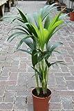 Plante d'intérieur - Plante pour la maison ou le bureau - Howea forsteriana, palmier Kentia - Palmier du Paradis, hauteur 95cm