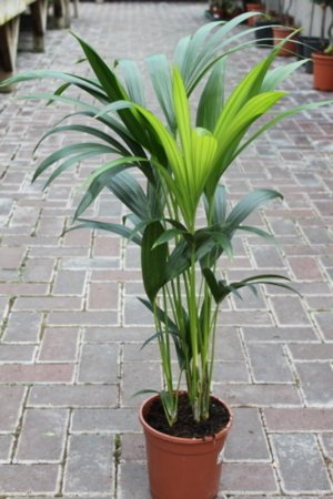 indoor-plant-house-or-office-plant-howea-forsteriana-kentia-palm-paradise-palm-95cm-tall