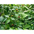 Tepin Pepper 4 Live Plants - HOTTEST SMALL PEPPER - Chiltepin - Bird Pepper - 2