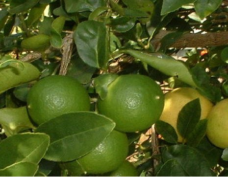 Save On Dwarf / Patio Key Lime Tree Non Grafted Rooted Cutting