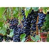 'Concord' Blue Grape Vine Plant - Jams & Jellies! - Gallon Pot