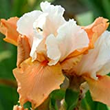 Iris bearded Blazing Sunrise (3)