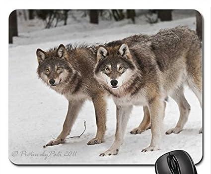 Golden-eyed Wolves in Snow