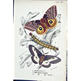 Larven-Schmetterlinge Automeris Hemileaca Maia Lloyd 1896 Kirby