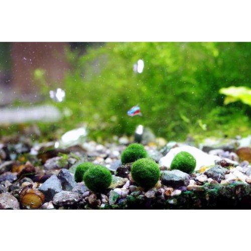 Marimo moss ball x 5 1 free live aquarium aquatic plant for Moss balls for fish tanks